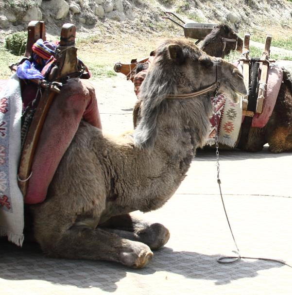 camel600_3322